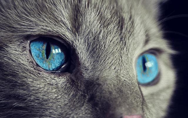 ¿Por qué los gatos adultos maullan a la gente?