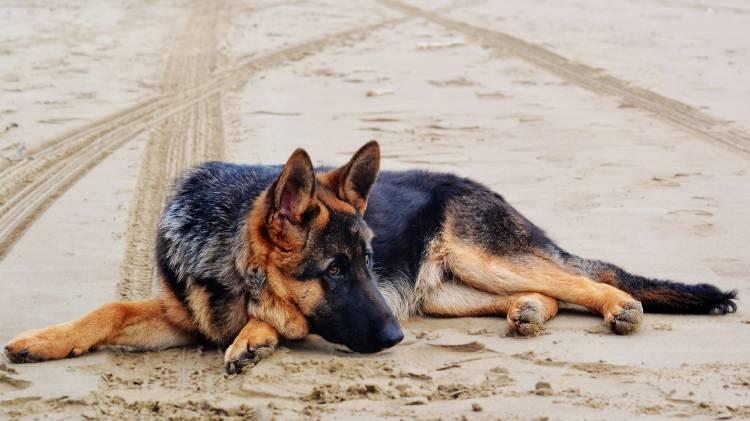 german-shepherd-1970026_1920
