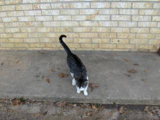 La cola del gato alzada en forma vertical y la punta doblada hacia abajo